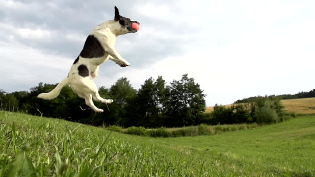hd super slow-mo: time warp shot of an acrobatic dog - stunt stock videos & royalty-free footage