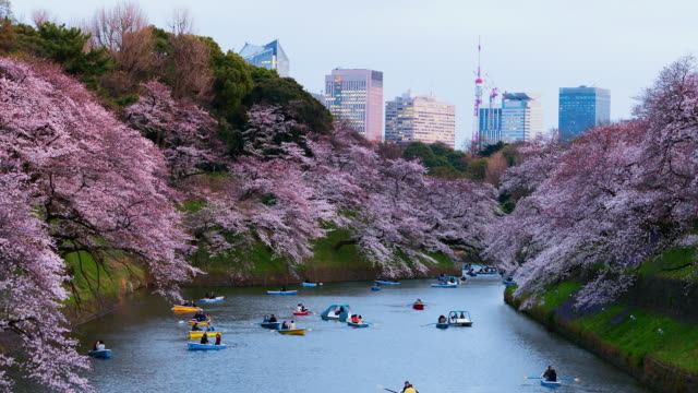 t/l ws zo time-lapse: 4k cherry blossoms in public park, tokyo, japan. - blossom stock videos & royalty-free footage
