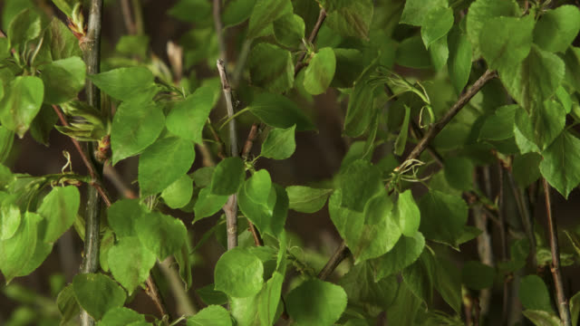 timelapse aspen (populus tremuloides) leaves sprout in spring, wyoming, usa - leaf stock videos & royalty-free footage