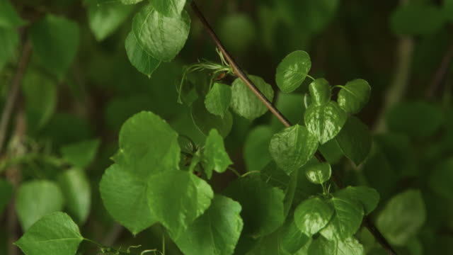 timelapse aspen (populus tremuloides) leaves sprout in spring, wyoming, usa - branch stock videos & royalty-free footage
