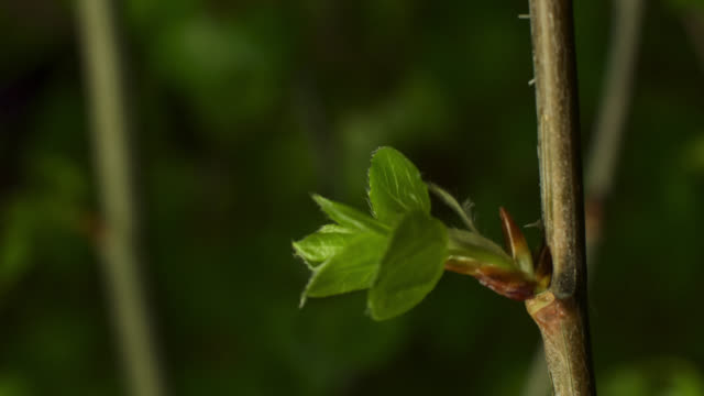 timelapse aspen (populus tremuloides) leaves sprout in spring, wyoming, usa - crescita video stock e b–roll