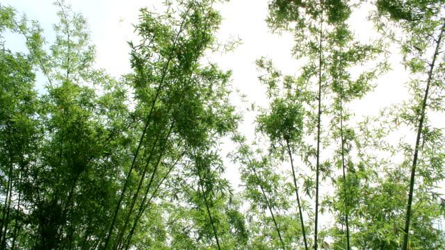vidéos et rushes de time-lapse sur la forêt de bambous haute définition - ballotter