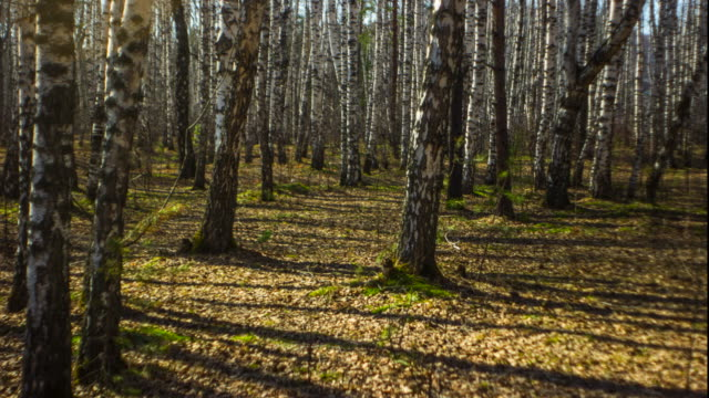 Timelapse birch forest  Full HD
