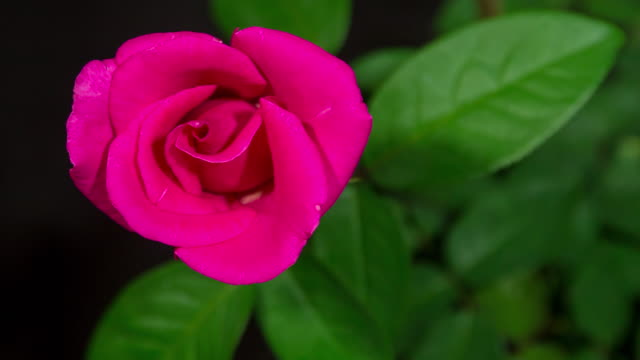 Time-lapse : Blooming Red Rose