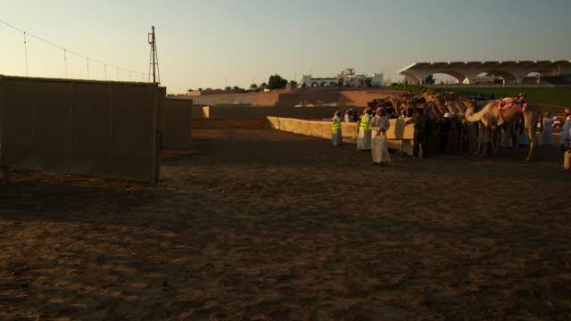 Timelapse camels gather at start line at racing track, Abu Dhabi, UAE