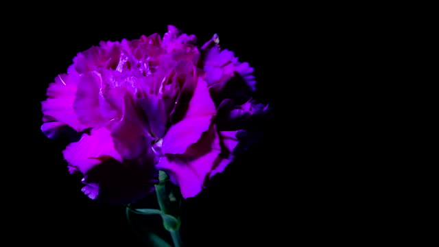 timelapse carnation flower - carnation flower stock videos & royalty-free footage