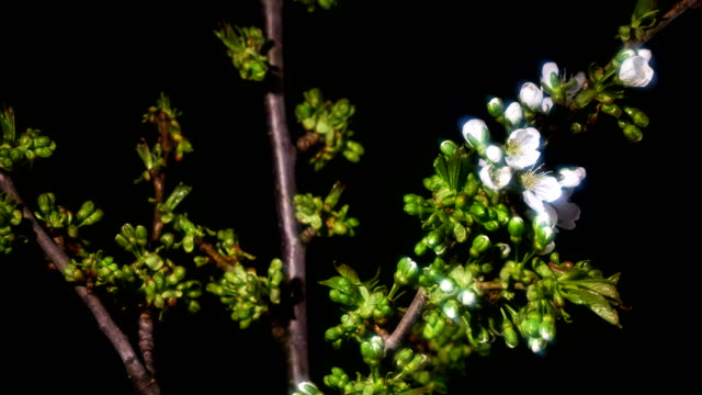 time-lapse :cherry blossoms branches on a black background - branch stock videos & royalty-free footage