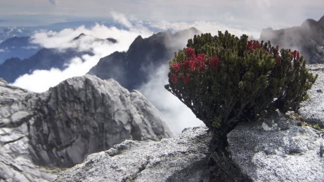 Timelapse clouds billow over rocky peak and flowering bush, Mount Kinabalu, Borneo