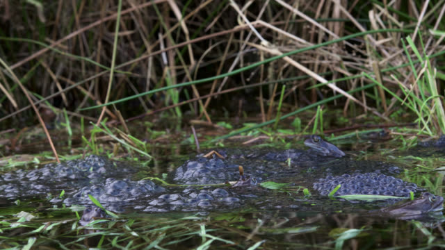 Timelapse common frogs (Rana temporaria) lay spawn in pond, UK