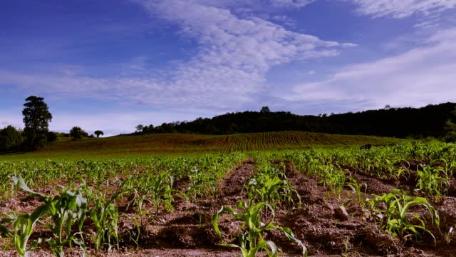 4 K Time-Lapse: champ de maïs