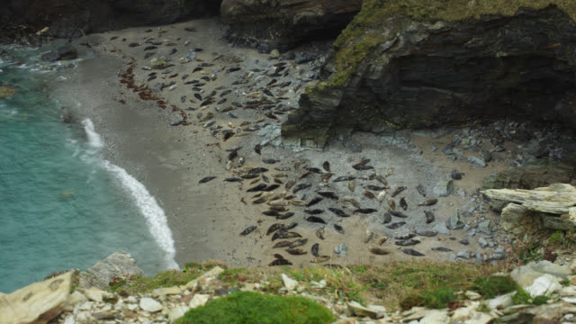 timelapse crane up over grey seal (halichoerus grypus) colony in cove, cornwall, uk - uk stock videos & royalty-free footage