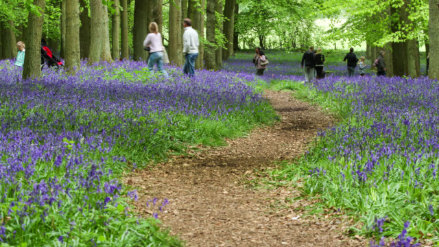 Timelapse crowds admire bluebell (Hyacinthoides non-scripta) flowers in Spring woodland, UK