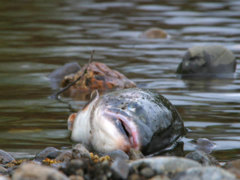 time-lapse dying fish as river rushes byTime-lapse of river rushing by as fish is dying after spawning