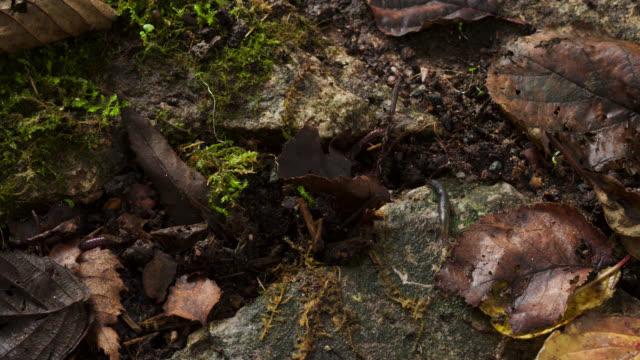 Timelapse earthworms (Lumbricus terrestris) pull leaf litter underground in garden, UK