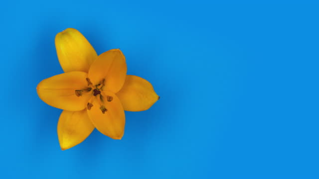 4k timelapse fast 5 sec loop of one orange lily flower blossom - lily stock videos & royalty-free footage
