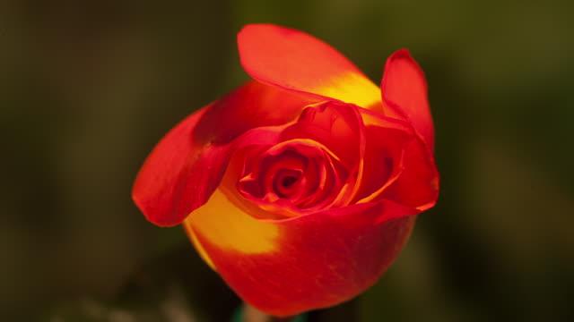 vidéos et rushes de timelapse flower - orange