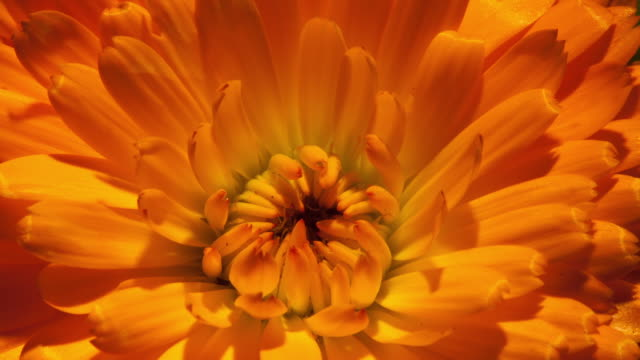 timelapse flower - orange colour stock-videos und b-roll-filmmaterial