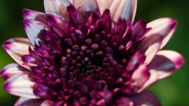 timelapse flower - chrysanthemum stock videos & royalty-free footage