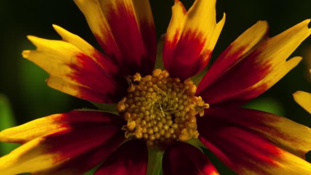 timelapse flower - staubblatt stock-videos und b-roll-filmmaterial