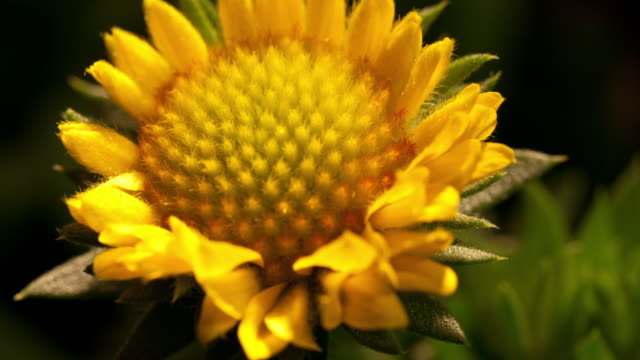 timelapse flowers - sunflower stock videos and b-roll footage