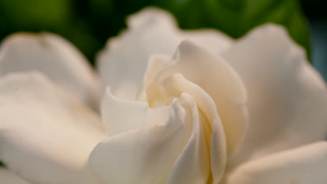 timelapse flowers - in bloom stock videos & royalty-free footage
