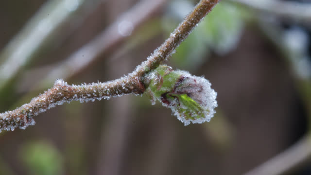 timelapse frost forms on leaf bud overnight, uk - winter stock videos & royalty-free footage