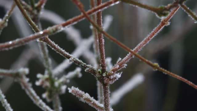 timelapse frost forms on plant twigs overnight, uk - ghiacciato video stock e b–roll