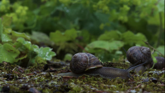 timelapse garden snails (helix aspersa) emerge after rain, uk - snail stock videos & royalty-free footage