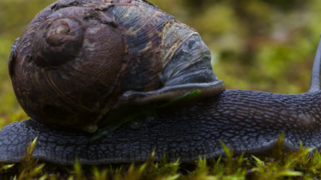 vídeos de stock, filmes e b-roll de timelapse garden snails (helix aspersa) emerge after rain, uk - caracol