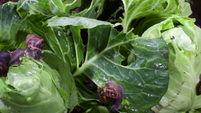 vidéos et rushes de timelapse garden snails (helix aspersa) feed on cabbages after rain, uk - escargot