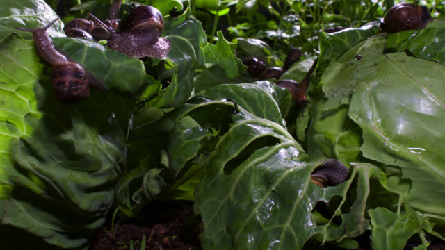 vídeos de stock, filmes e b-roll de timelapse garden snails (helix aspersa) feed on cabbages after rain, uk - caracol