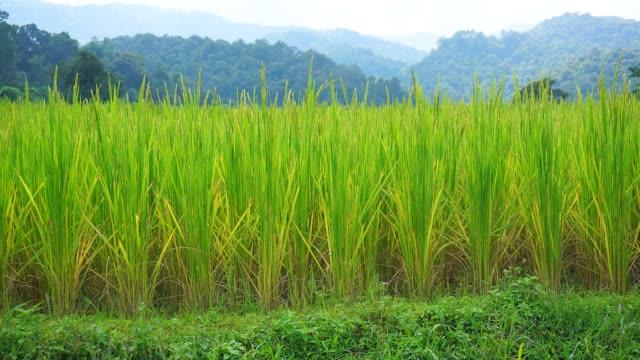 time-lapse: green rice paddy fields in raining - full hd format bildbanksvideor och videomaterial från bakom kulisserna