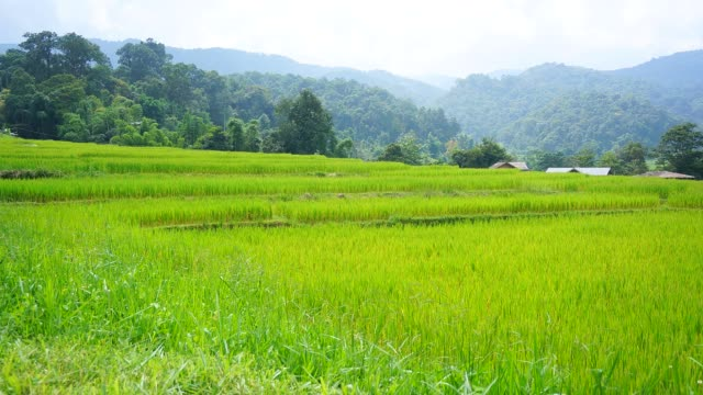 time-lapse: green rice paddy on terraced fields - full hd format stock videos & royalty-free footage