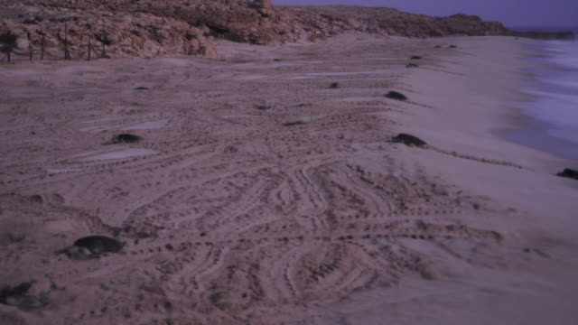 timelapse green sea turtles (chelonia mydas) on nesting beach at sunrise, oman - green turtle stock videos and b-roll footage