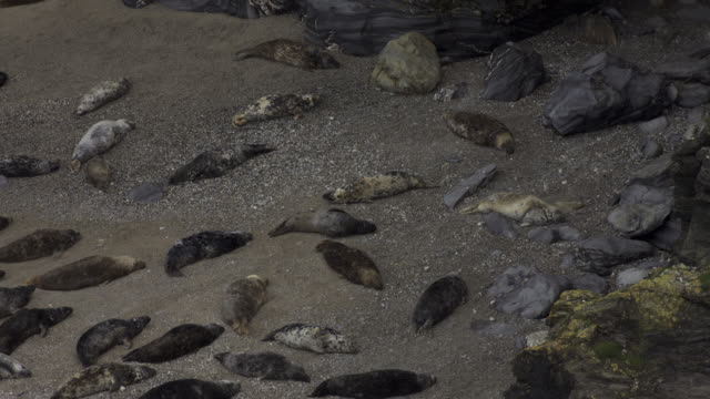 timelapse grey seal (halichoerus grypus) colony in cove, cornwall, uk - grey seal stock videos and b-roll footage