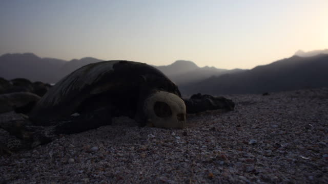 timelapse hermit crabs feed on rotting turtle carcass on beach at sunset, oman  - rotting stock videos and b-roll footage