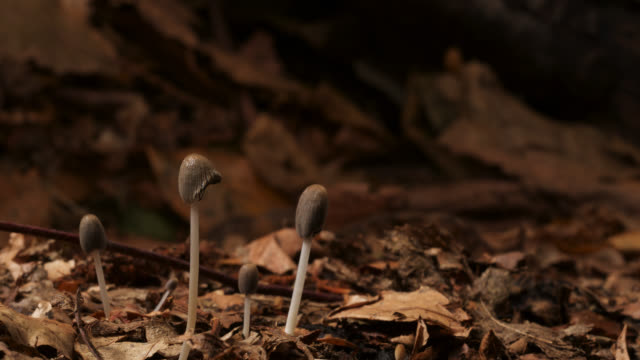 Timelapse inkcap fungus (Coprinus micaceus) fruit bodies emerging, UK