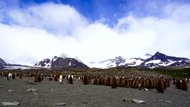 time-lapse :king penguin panorama - named wilderness area stock videos & royalty-free footage