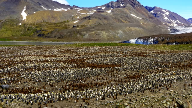 zeitraffer: könig pinguin panorama - insel south georgia island stock-videos und b-roll-filmmaterial