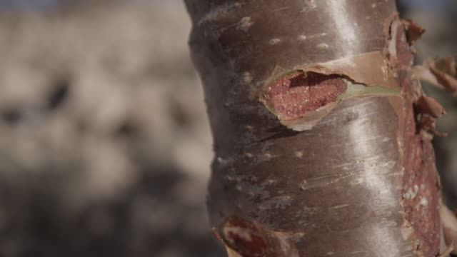 Timelapse man removes bark and frees sap from frankincense tree, Oman