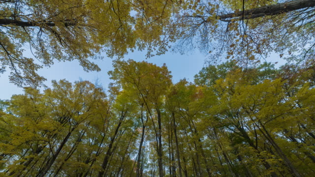4K Time-Lapse: Maple Forest Bathed in Morning Sunlight