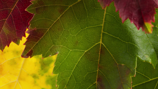 timelapse maple tree (acer sp) leaves turn orange and red in autumn, uk - autumn leaf color stock videos and b-roll footage