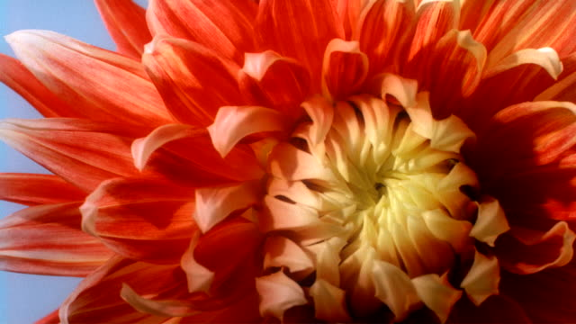 timelapse of a beautiful orange chrysanthemum blooming. available in hd. - chrysanthemum stock videos & royalty-free footage
