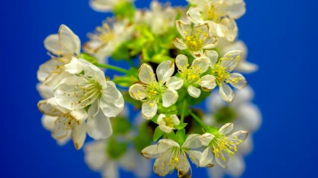 vídeos y material grabado en eventos de stock de timelapse de un fruta cereza árbol flor creciendo y floreciendo en un fondo azul - cultivado
