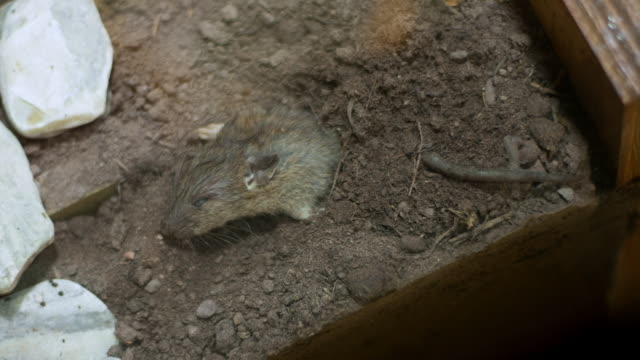 time-lapse of a dead rat being buried in the ground by two sexton beetles - dead animal stock videos & royalty-free footage