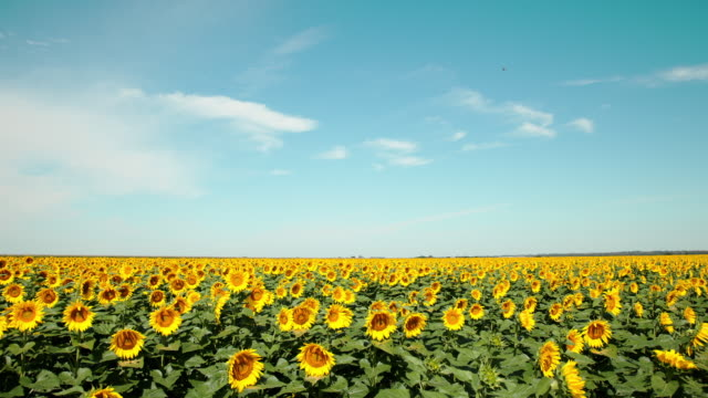 vídeos de stock, filmes e b-roll de timelapse of a field of yellow sunflowers beneath an endless horizon of blue sky and clouds - girassol