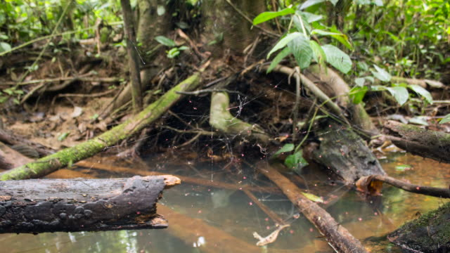 time-lapse of a social spider web above a rainforest stream in the ecuadorian amazon. - south america stock videos & royalty-free footage