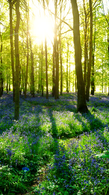 vídeos de stock, filmes e b-roll de time-lapse of a sunrise over a bluebell field in vertical format. - vertical