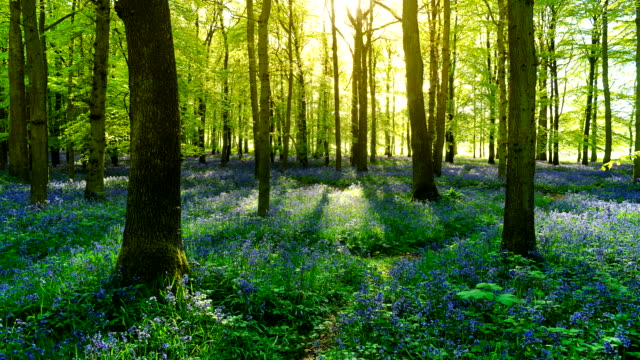 Time-lapse of a sunrise over a bluebell field.