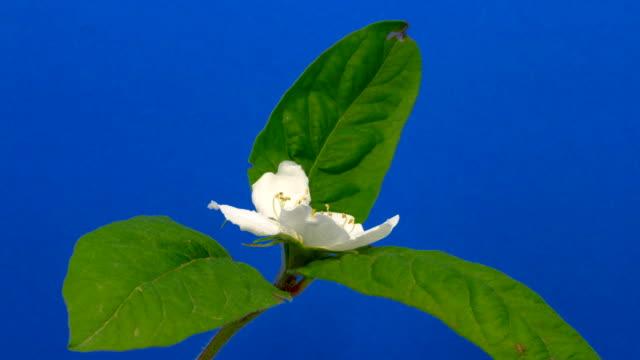 vidéos et rushes de timelapse hd d'une fleur de néflier qui poussent sur fond bleu - bouton de fleur